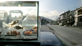 A tank of goldfish sits upon the hood of a car which is parked on the side of an empty street.