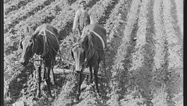 A man and two horses stand in a field.